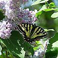Lilac Favourite