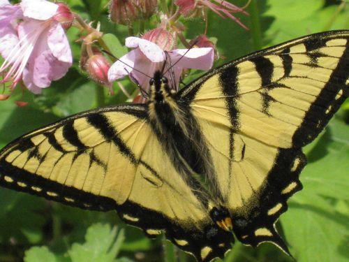 ButterflyOnBigfoot2011 016